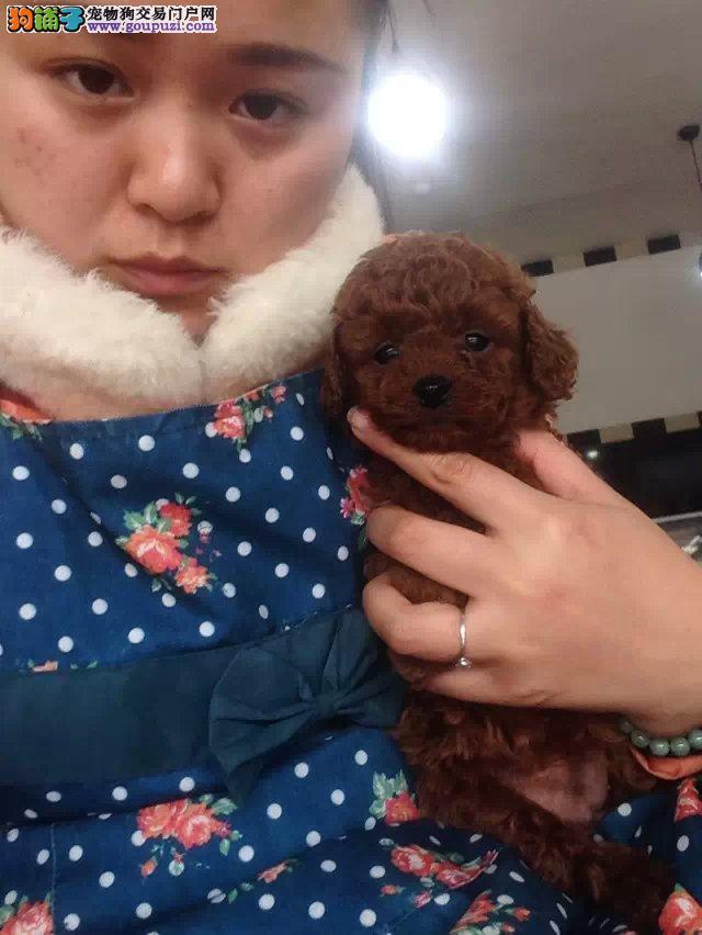 苏州纯种泰迪出售、可视频看狗、自取1000
