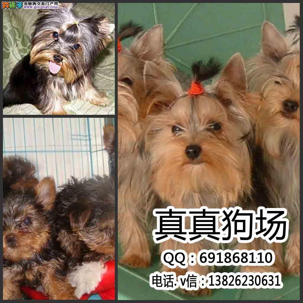 袖珍超小体约克夏幼犬出售 自家繁殖 可送货上门挑选