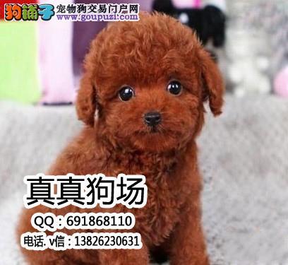 中山哪里有卖茶杯犬 中山茶杯犬多少钱一只