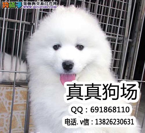 天使萨摩耶之星 冠军级雪白萨摩耶犬/高端伴侣犬