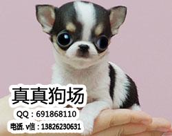 超小体纯种吉娃娃幼犬 自家繁殖 可视频看 实物拍摄