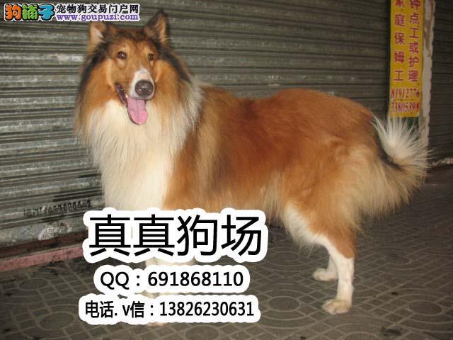 纯种犬繁殖基地售高品质苏牧犬 签署合同售后完善
