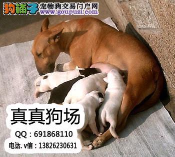 精品弹头牛头梗,牛头梗幼犬,海盗眼牛头梗幼犬