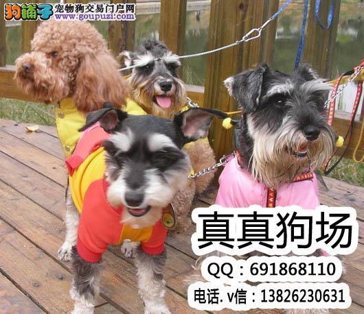 精品雪纳瑞,雪纳瑞幼犬,椒盐黑色雪纳瑞,品质保证