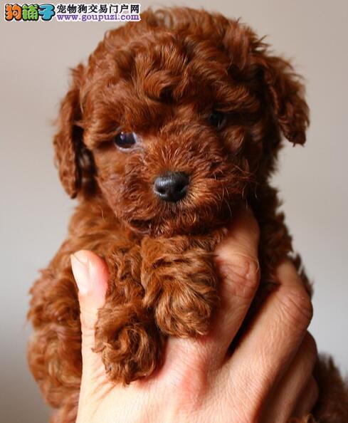 我家泰迪生的小狗,550一只 不搞价非诚勿扰