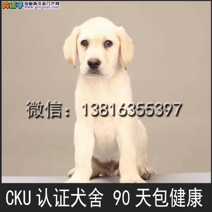上海 拉布拉多 导盲犬 奶白 黄色 公母均有 可上门挑选