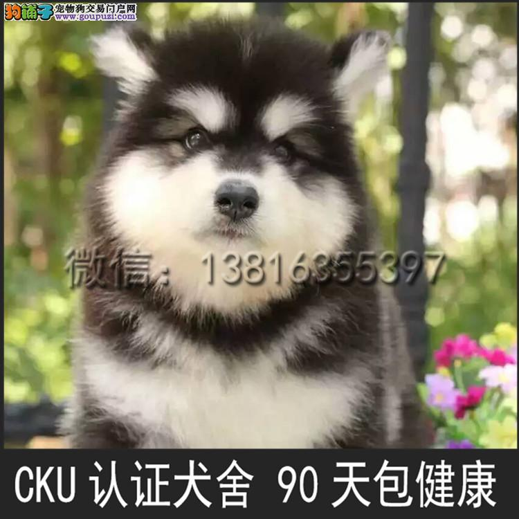 犬舍直销阿拉斯加雪橇犬 全国发货 可上门挑选