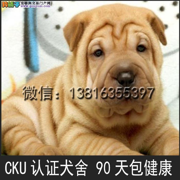 沙皮狗 犬舍出售 沙皮狗 可上门挑选 疫苗已做好