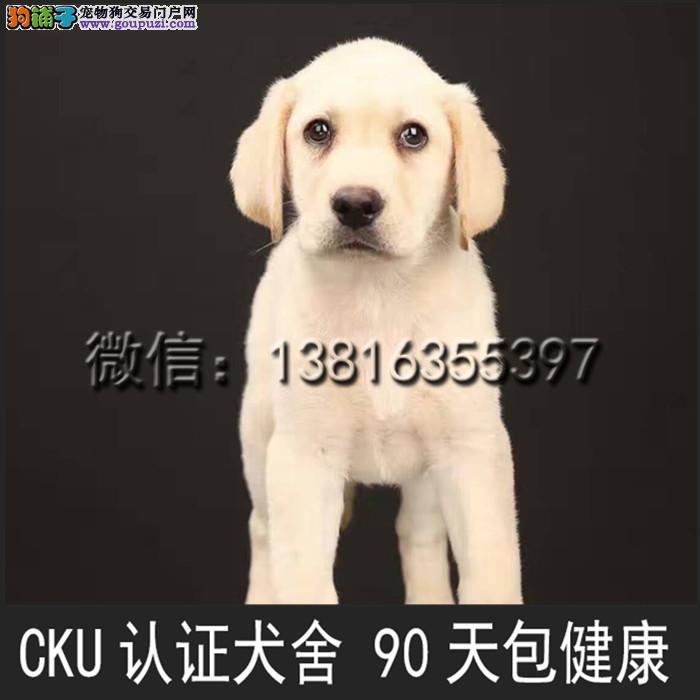 聪明温顺英系拉布拉多犬 疫苗已完善 极品幼犬待售