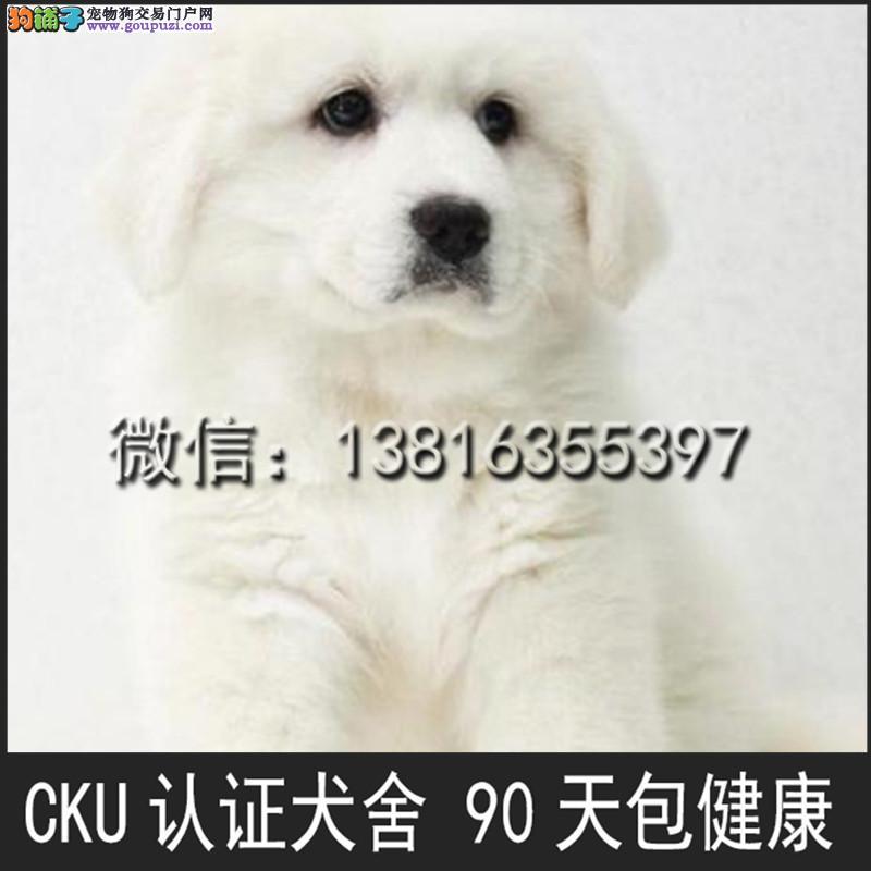 犬舍出售大白熊 包纯种包健康 包成活 大白熊