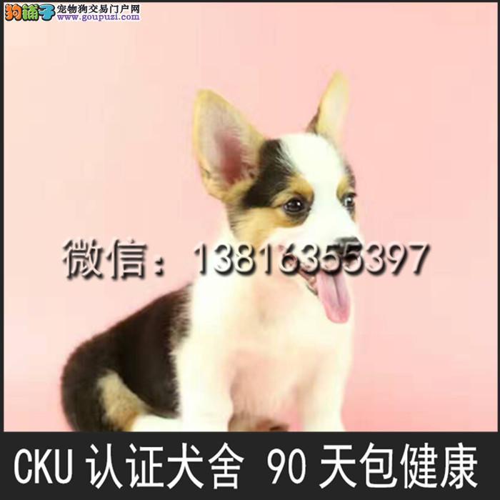 柯基犬 上海犬舍出售柯基犬 两色 三色均有 包成活