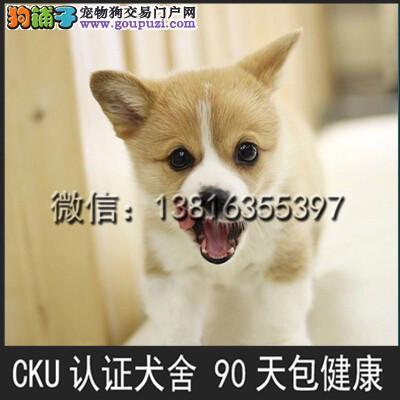 本犬舍出售 纯种柯基犬 健康宠物狗 90天包退换