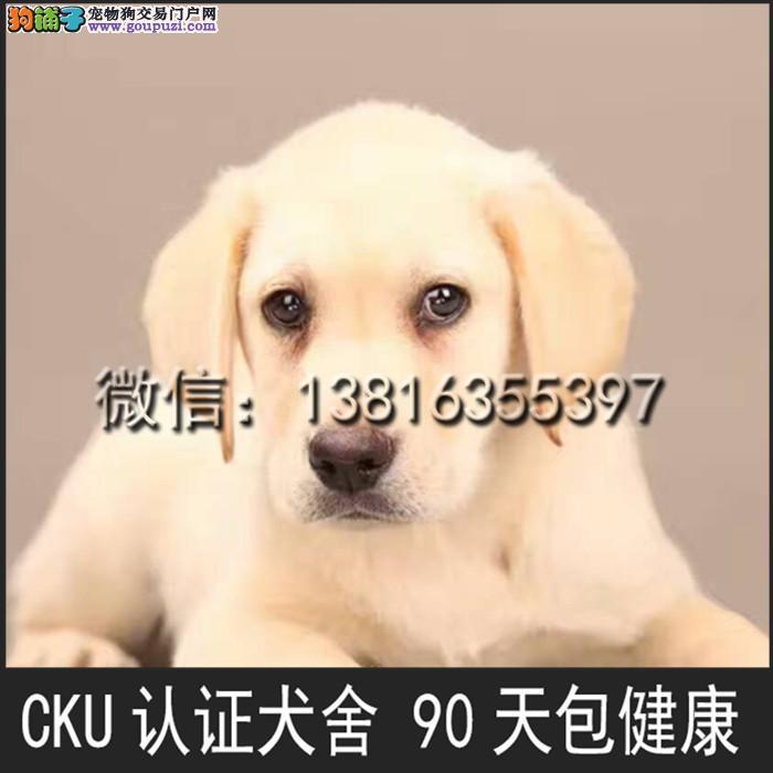 顶级 高品质的赛级 拉布拉多幼犬 CKU认证 完美售后