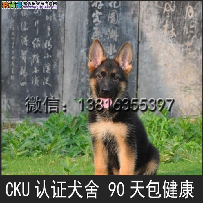 顶级 高品质的赛级 德国牧羊犬幼犬 CKU认证 完美售后