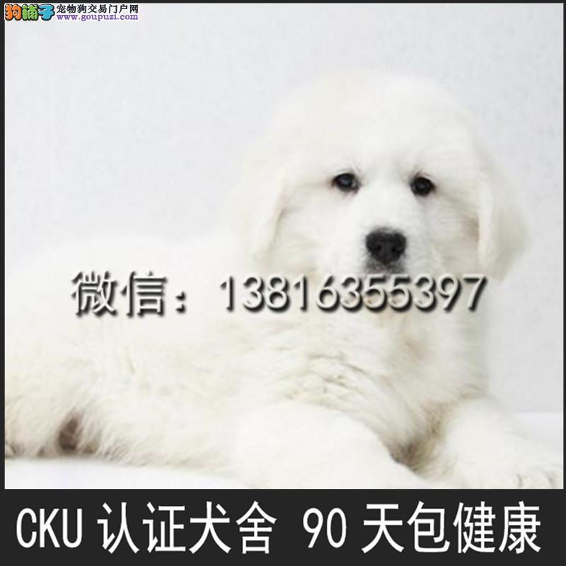 本犬舍出售 纯种 大白熊幼犬 健康宠物狗 90天包退换