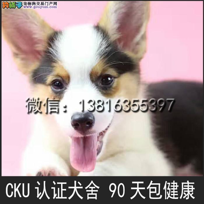 顶级 高品质的赛级 柯基幼犬 CKU认证 完美售后