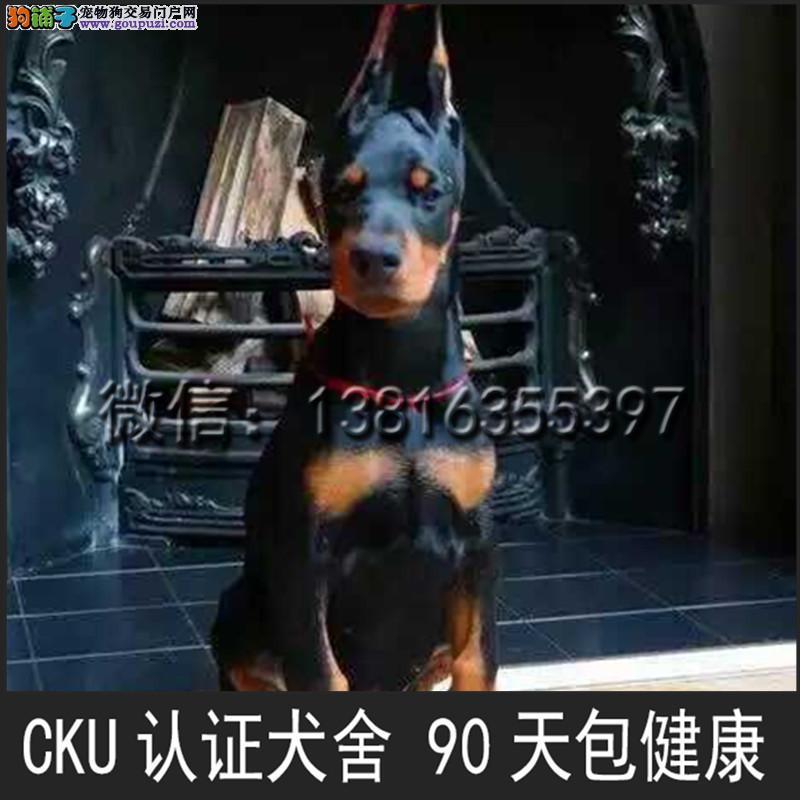 顶级 高品质的赛级 杜宾犬幼犬 CKU认证 完美售后