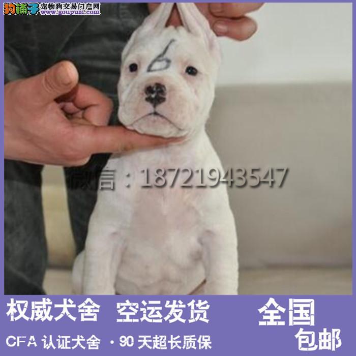 杜高犬 四个月要幼崽 全国可发货 疫苗驱虫以做好