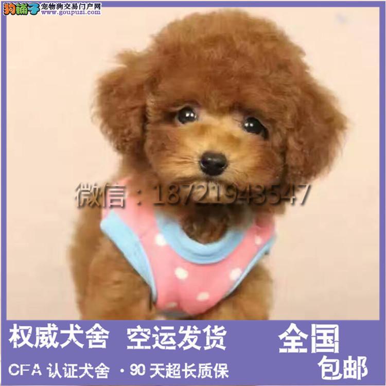 犬舍出售 泰迪犬 幼犬 公母均有可上门挑选 可签订协议
