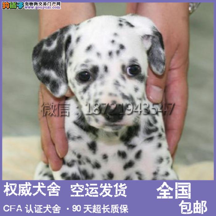 斑点狗 犬舍直销 斑点狗 可上门挑选 疫苗已做
