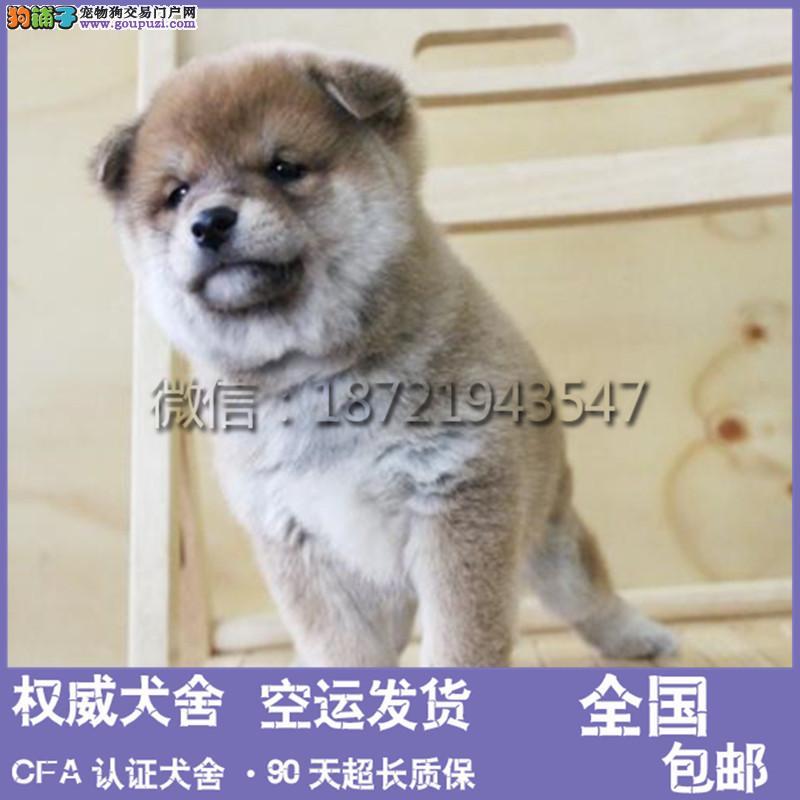 上海出售柴犬 公母 都要 纯种 双血统 柴犬