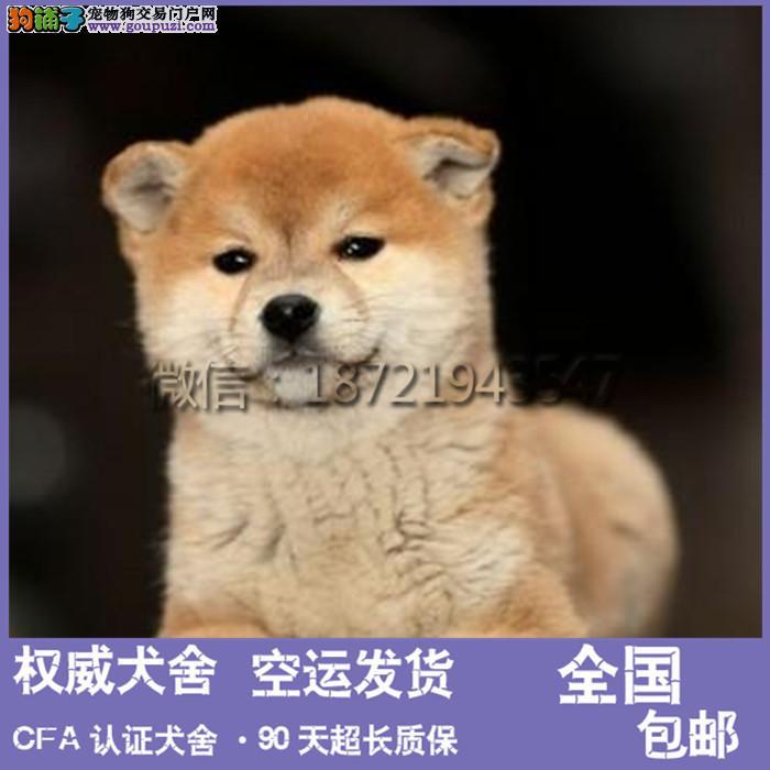 秋田犬 赛级双血统 公母均有 包成活 签协议