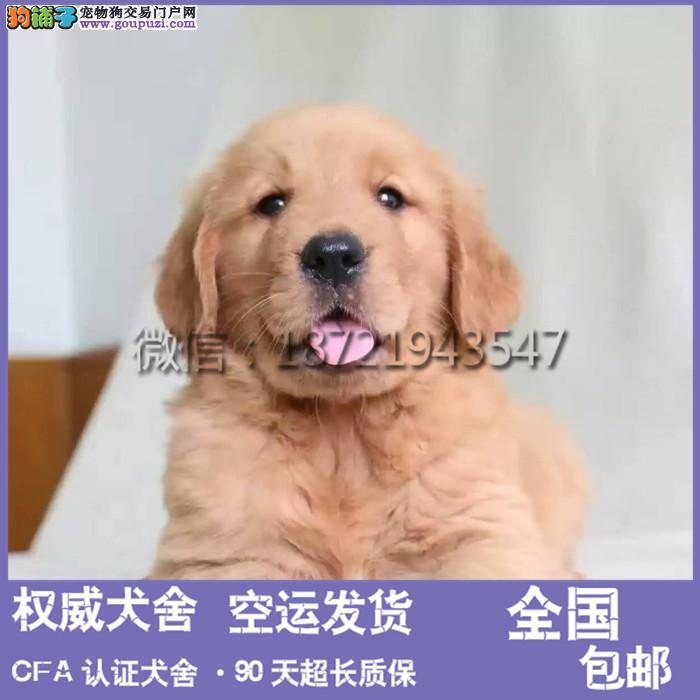 专业繁殖赛级高品质金毛犬大骨架 疫苗做齐签协议