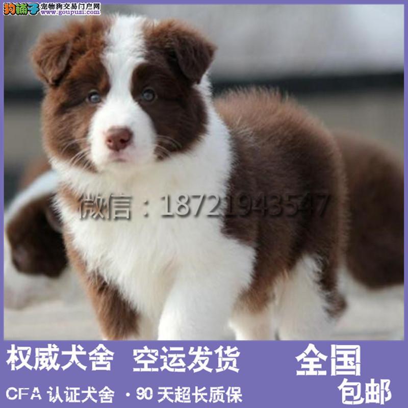 中国高端边境牧羊犬繁育专家边牧犬舍出售顶级边牧幼犬