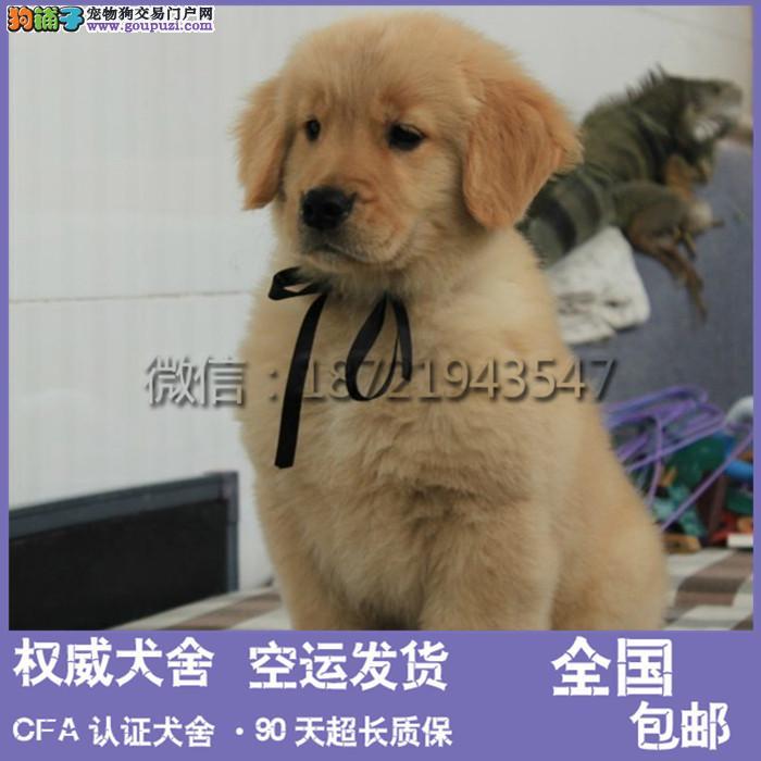本犬舍出售 纯种伯恩山犬幼犬 健康宠物狗 90天包退换