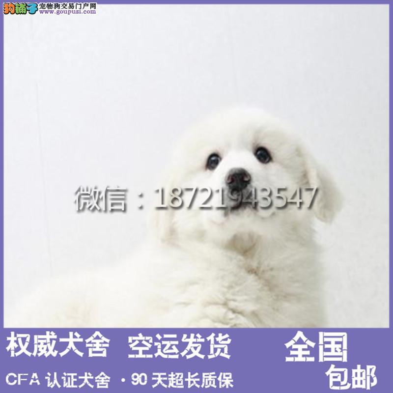 本犬舍出售 纯种大白熊幼犬 健康宠物狗 90天包退换
