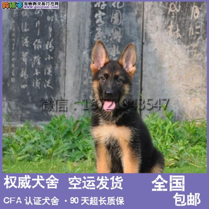 本犬舍出售 纯种德牧幼犬 健康宠物狗 90天包退换