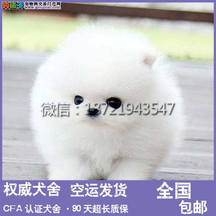 犬舍专业繁殖出售纯种博美等大众精品幼犬欢迎选购