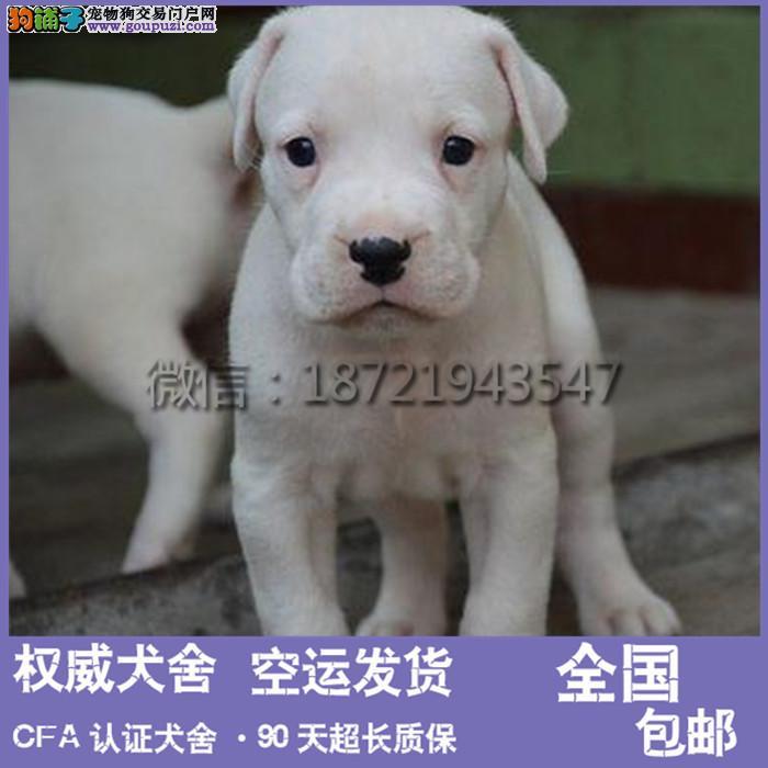 赛级杜高犬幼犬 品相好 血统纯 看父母 价可面议