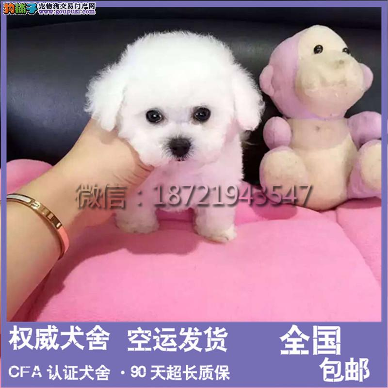 泰迪幼犬玩具泰迪犬颜色齐全终身质保可看视频