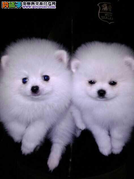 浦东新区博美犬繁殖基地直销价格照片多少