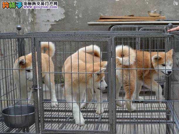浦东新区秋田犬繁殖基地直销价格照片多少