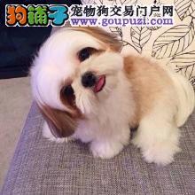 西施犬幼犬出售中 实物拍摄直接视频 绝对信誉保证