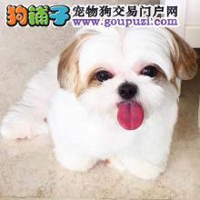 热销多只优秀的纯种天津西施犬当日付款包邮