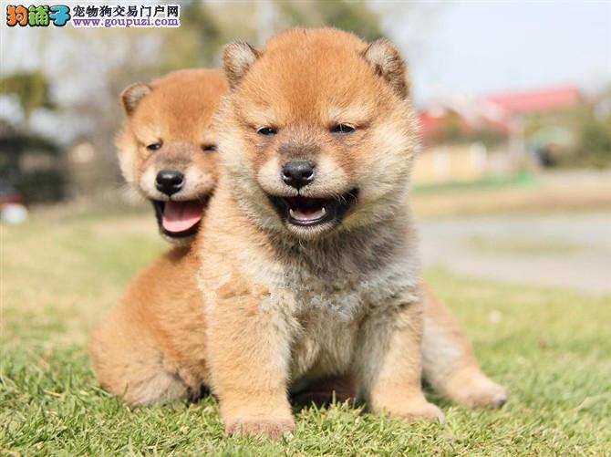 杭州大型犬舍低价热卖极品柴犬办理血统证书