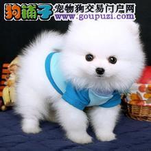 博美犬纯种健康可签协议可当面先检测再购买,狂送用品