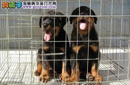 罗威纳价格保证纯种健康 罗威纳狗狗视频