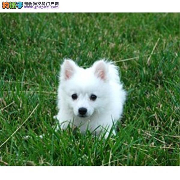 精品银狐犬幼犬 公母均有健康保障 另种公借配