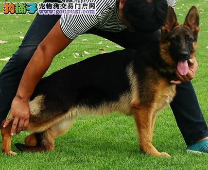 哈尔滨出售昆明犬幼犬品质好有保障专业品质一流