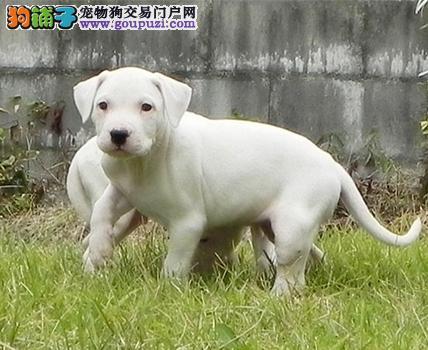 纯血统杜高犬幼犬、金牌店铺品质第一、当天付款包邮