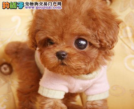 天津自家狗场繁殖直销泰迪犬幼犬微信选狗直接视频
