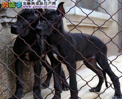 出售吐鲁番大丹犬健康养殖疫苗齐全签订协议终身质保