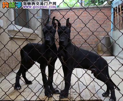 出售大丹犬健康养殖疫苗齐全微信选狗直接视频