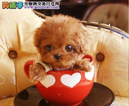 忍痛割爱 低价出售纯种韩系通州泰迪犬颜色多样