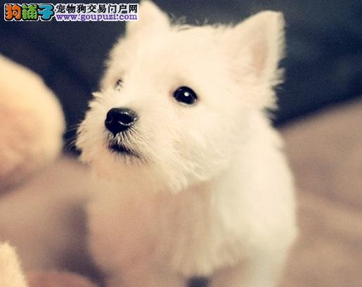 全年ΝΟ⒈一至今最畅销 西高地幼犬 好品质、有保障