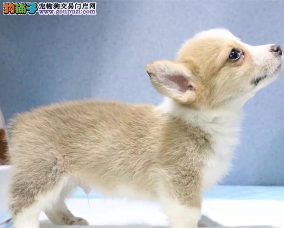 出售赛级柯基,品质第一价位最低,购犬可签协议